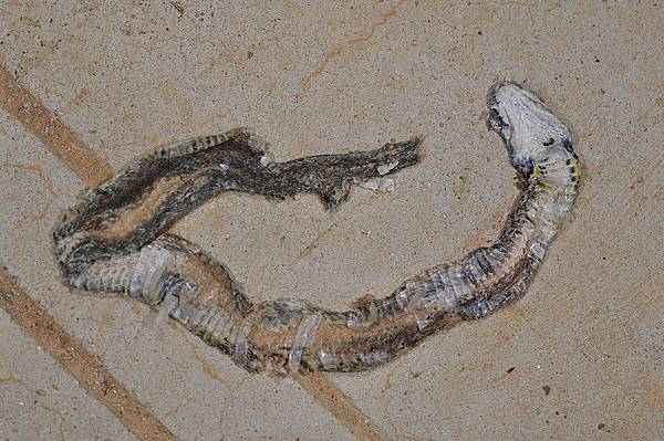 紅脖頸槽蛇(Rhabdophis subminiatus)