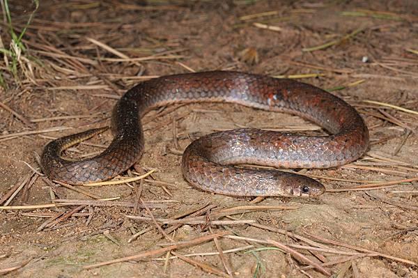 頸斑蛇(Plagiopholis blakewayi)