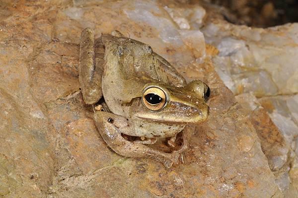 斑腿泛樹蛙(Polypedates megacephalus)