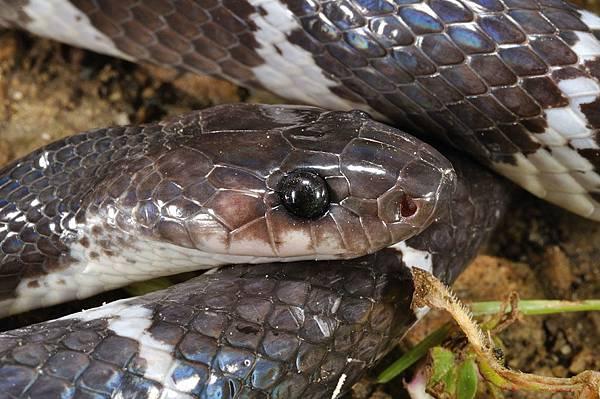 某種白環蛇(Lycodon spp.)