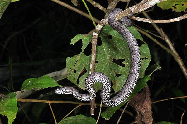 橫紋鈍頭蛇(Pareas margaritophorus)
