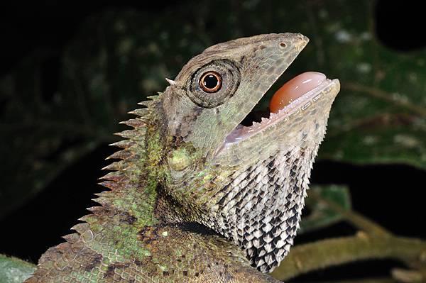 棕背樹蜥(Calotes emma)