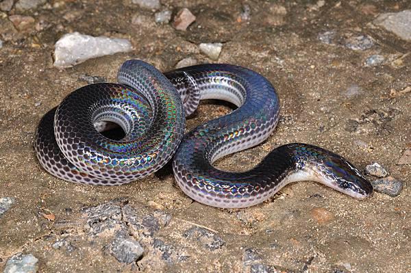 閃鱗蛇(Xenopeltis unicolor)
