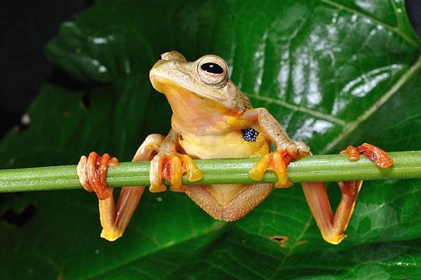 紅蹼樹蛙(Rhacophorus rhodopus)