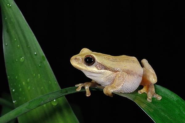 背條跳樹蛙(Chirixalus doriae)