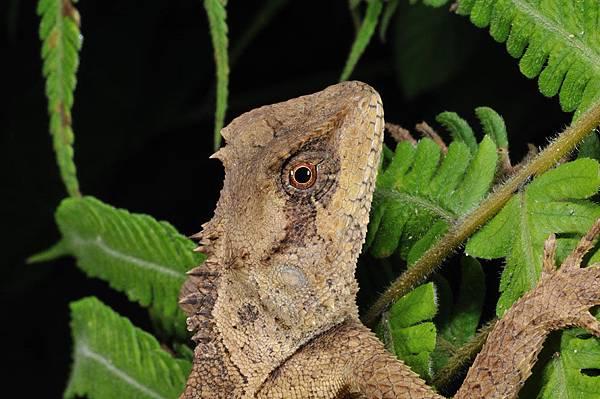 麗棘蜥(Acanthosaura lepidogaster)