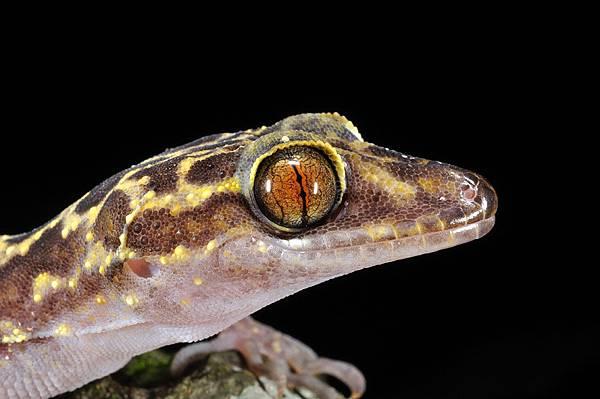瓦氏彎腳虎(Cyrtodactylus wayakonei)