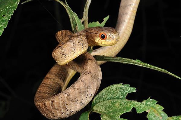 棱鱗鈍頭蛇(Pareas carinatus)