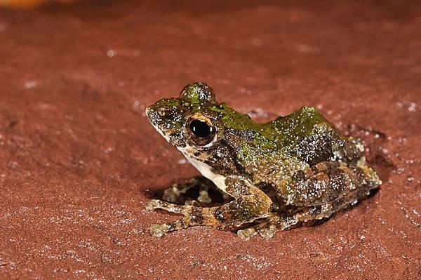 鋸腿水樹蛙(Aquixalus odontotarsus)