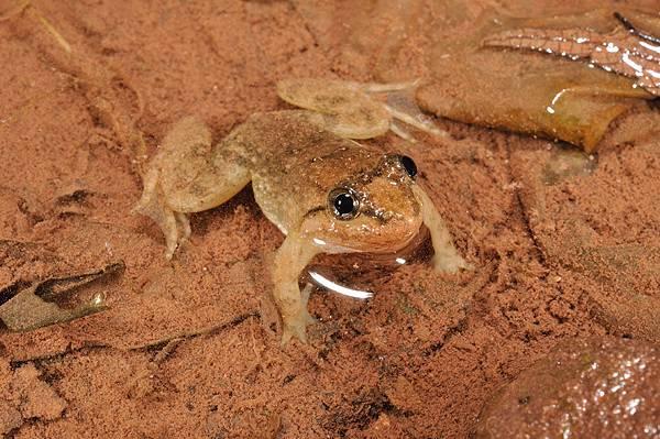 版納大頭蛙(Limnonectes bannaensis)