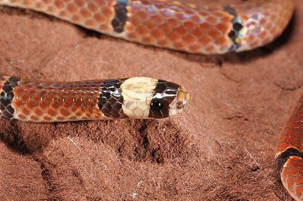 中華珊瑚蛇指名亞種(Sinomicrurus macclellandi macclellandi)