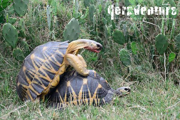 輻射龜 (Radiated Tortoise, Astrochelys radiata)