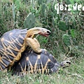輻射龜 (Radiated Tortoise, Astrochelys radiata)