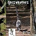"The three lemurs of ""Madagascar"""