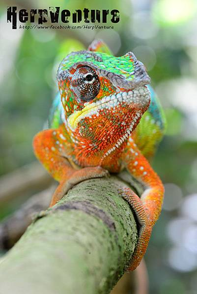 七彩變色龍 (the Panther Chameleon, Furcifer pardalis)