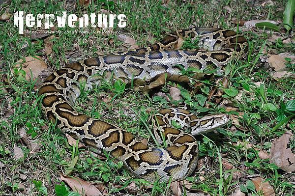 緬甸蟒 (the Burmese Python, Python molurus bivittatus)