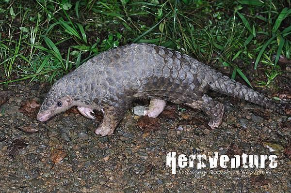 台灣鯪鯉 (台灣穿山甲,Manis pentadactyla pentadactyla)