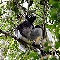 光面狐猴 (the Indri, Indri indri)