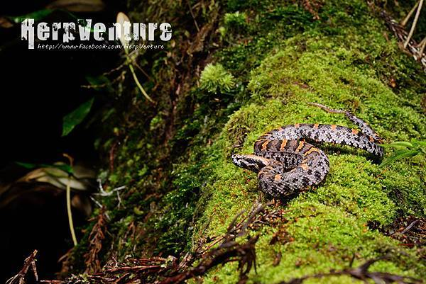 瑪家山龜殼花 (the Taiwan Mountain Pitviper, Ovophis makazayazaya)