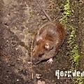 刺鼠 (Coxing's White-Bellied Rat, Niviventer coninga)