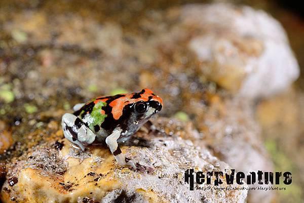 彩虹犁足蛙 (Malagasy Rainbow Frog, Scaphiophryne gottlebei)