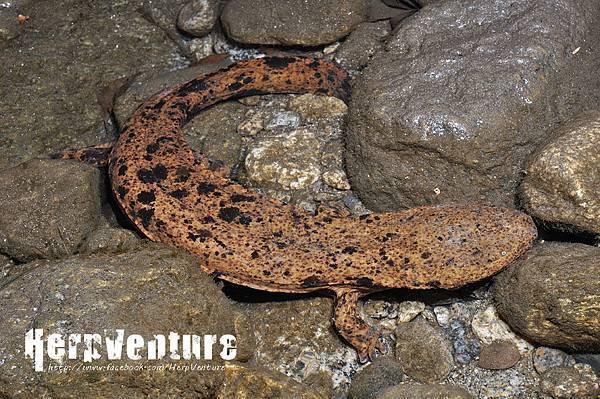 日本大山椒魚 (Japanese Giant Salamander, Andrias japonicus)