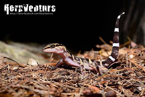 久米瞼虎 (Japanese Yamashinae's Cave Gecko, Goniurosaurus kuroiwae yamashinae)