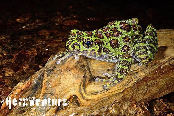 石川蛙 (Ishikawa's frog, Odorrana ishikawae)