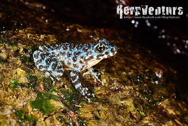 藍色型的石川蛙 (blue-from Ishikawa's frog, Odorrana ishikawae)
