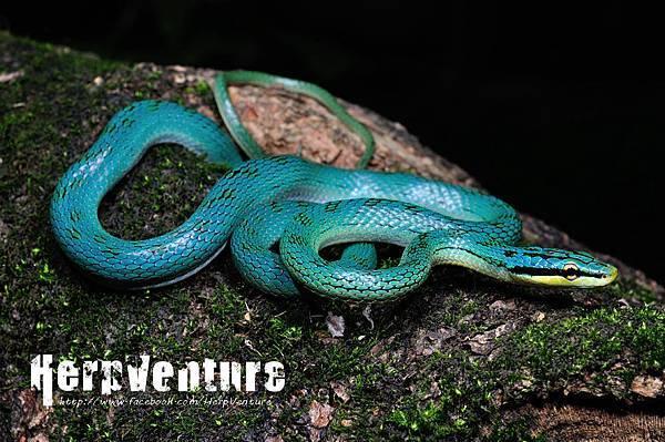 灰腹綠錦蛇 (Rein Snake, Rhadinophis frenatus)