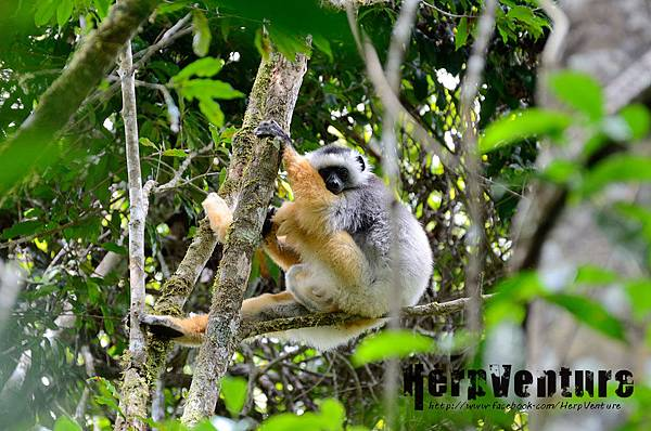 冕狐猴 (the Diademed Sifaka, Propithecus diadema)