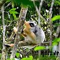 冕狐猴 (the Diademed Sifaka, Propithecus diadema)
