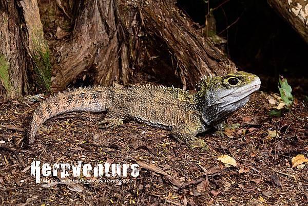 北方喙頭蜥 (Northern Tuatara, Sphenodon punctatus)