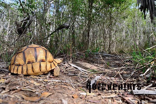 安哥洛卡陸龜 (Angonoka tortoise, Astrochelys yniphora)