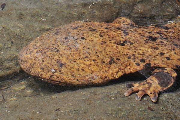 野外大山椒魚4.jpg