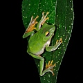 又發現八重山樹蛙了