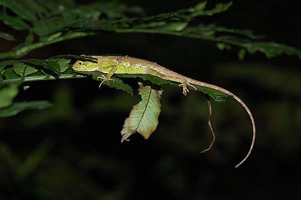 晚上在睡覺的黃口攀蜥(Japalura polygonata xanthostoma)