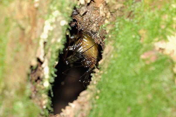 從樹洞裡探出頭的蚰蜒