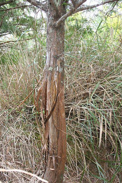 樹幹上的水鹿摩痕