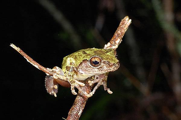 另一隻艾氏樹蛙