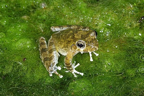 日本樹蛙(Buergeria japonica)
