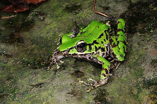 超綠的斯文豪氏赤蛙(Rana swinhoana)