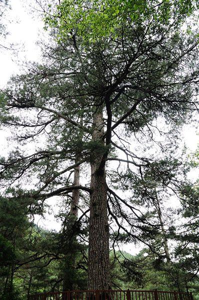 在登山口前的大樹