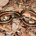金絲蛇全身照