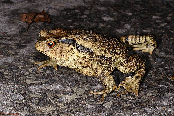 盤古蟾蜍(Bufo bankorensis)