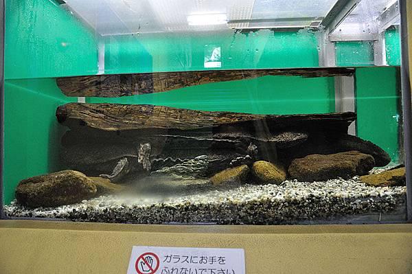 日本大山椒魚