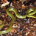 琉球青蛇(Cyclophiops semicarinatus)