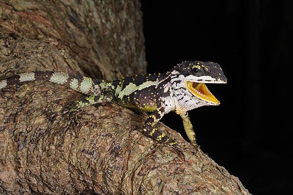 南澳的黃口攀蜥(Japalura polygonata xanthostoma)