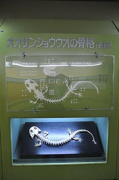 日本大山椒魚的骨骼標本