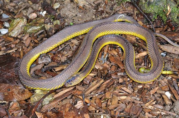 奄美標蛇(奄美高千穗,Achalinus werneri)